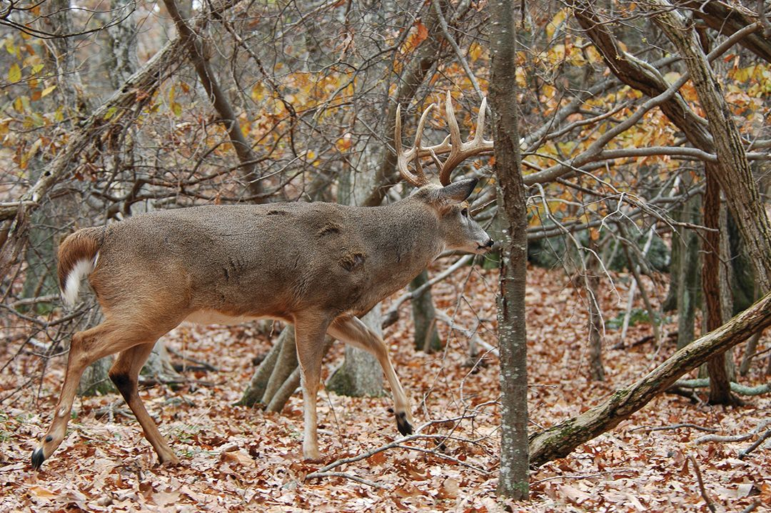 The rut is a prime time to catch mature bucks in search of does on small tracts of public land.