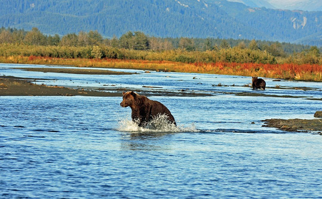 Bears were often spotted fishing on the Tsiu River.