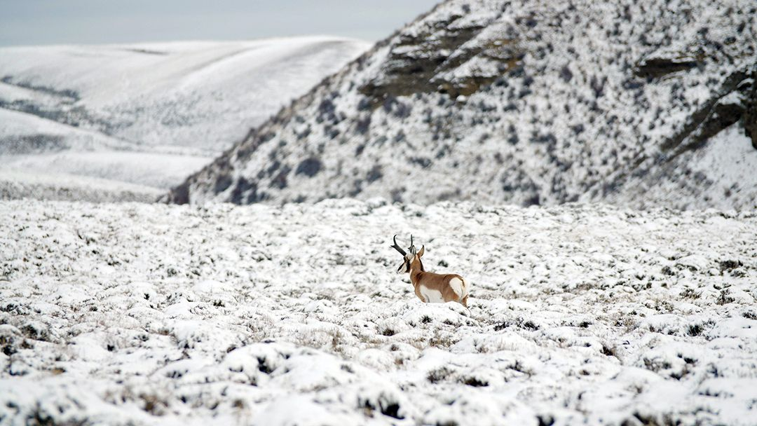 The first snow of the season began to push pronghorn out of the hills.