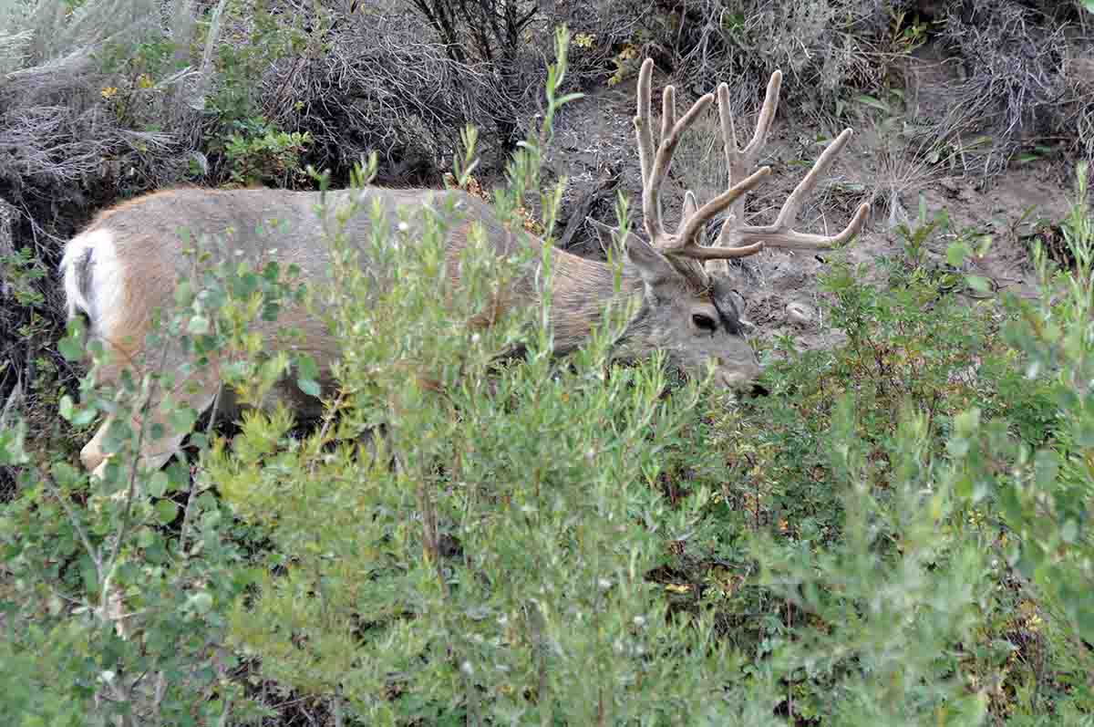 Green browse in otherwise dry habitat is a magnet for mule deer in late summer and early fall.