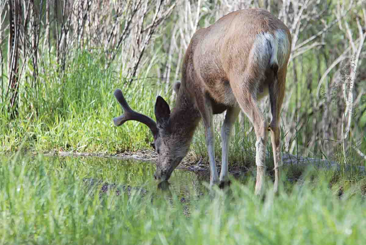 Mule deer need surface water. Finding water sources in drier areas narrows the search for early-season deer.