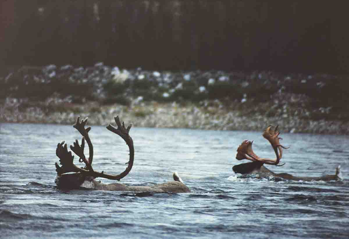Swimming caribou were a common sight on the Delay River during Terry's first five-day adventure.