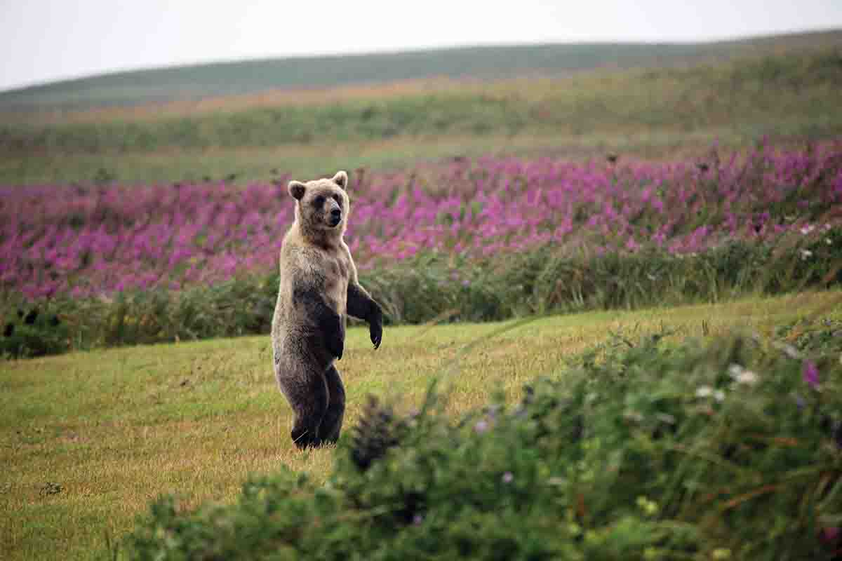The hunting area is known for good brown bear hunting and viewing.