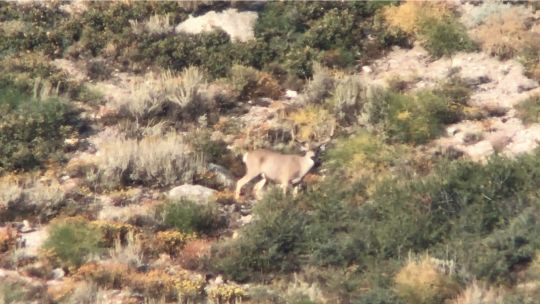 Tyler took a number of photos of his trophy deer through the spotting scope. It is clear this buck had both spread and mass. This is about as big as the Inyo mule deer gets.