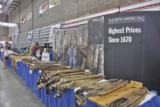 When fur prices are high, trappers put more effort into targeting coyote, fox, bobcat and other furbearing predators.