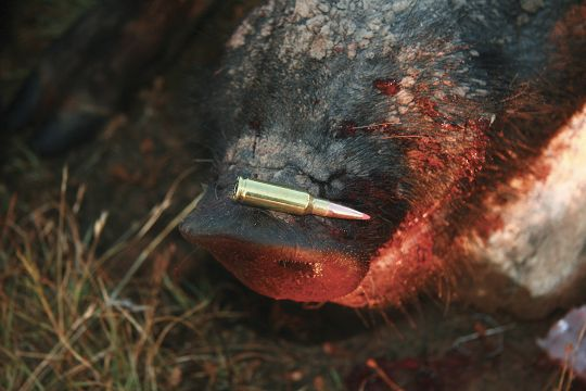 An Alexander Arms AWS 6.5 Grendel worked well on hogs weighing as much as 350 pounds while shooting long-for-caliber, Hornady 129-grain SST bullets at about 2,400 fps.