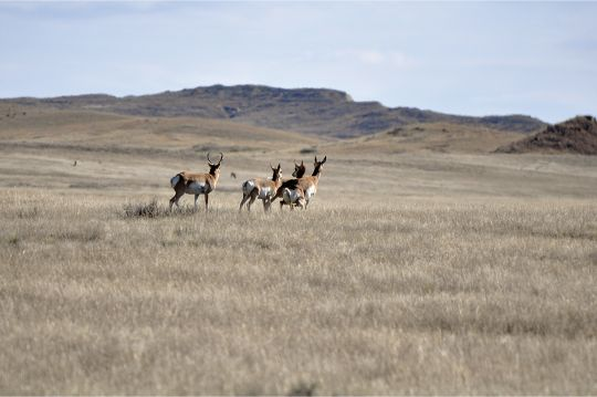 Flat topography and quarry such as pronghorn make it tough to estimate range. Most modern cartridges make errors less significant with pronghorn.