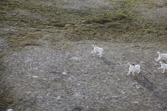 While flying into base camp prior to the hunt, Brad got a bird's-eye view of Dall sheep.