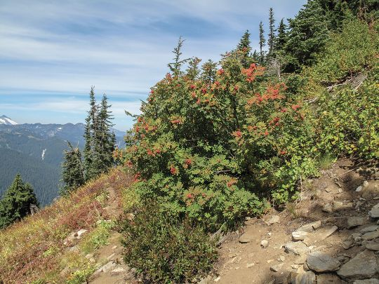 Mountain ash produces a berry that bears favor in the fall, but it is poisonous to humans.