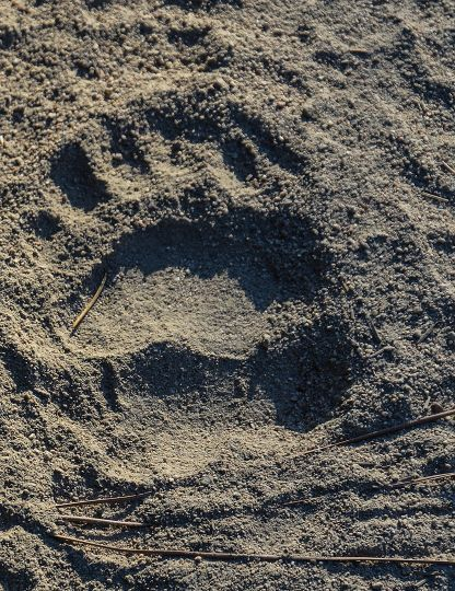 Look for well-worn paths made by bears frequenting feeding areas. These paths are often used each year.