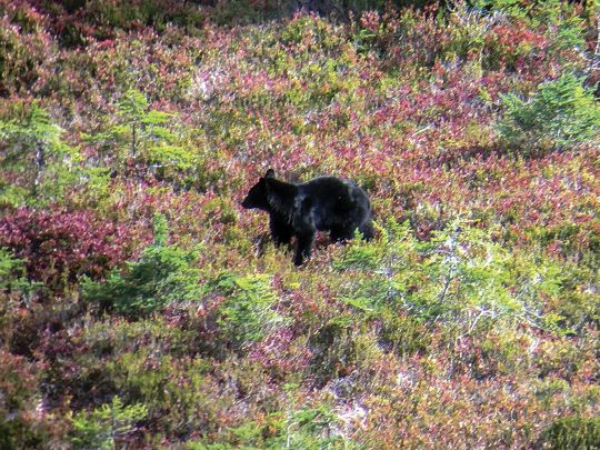 Black bears can often be found feeding on wild blueberries any time of the day, and sometimes for hours on end.