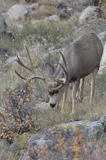 Feeding pre-rut bucks may drift far enough to confuse hunters who attempt a premature stalk.