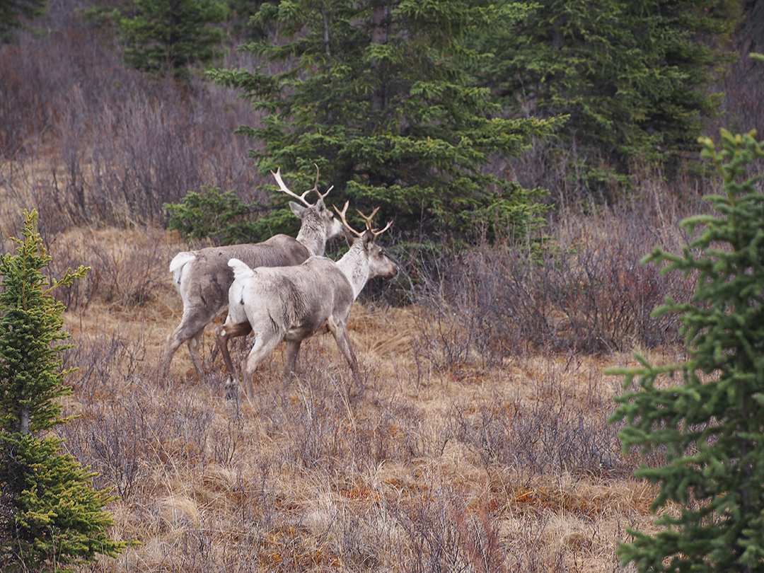 A fair amount of caribou were spotted during the hunt.