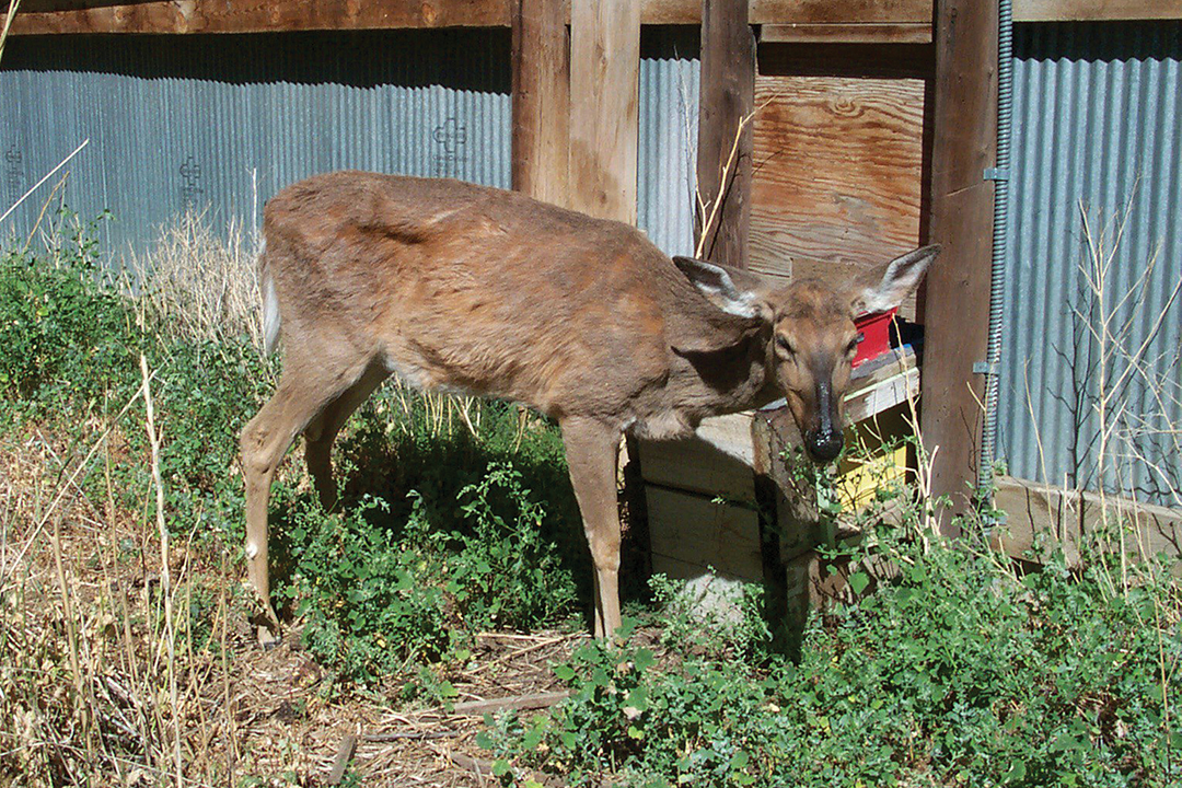 A captive deer with CWD; the disease is always fatal.