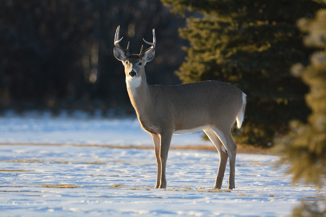 Appearance is no indication of CWD. An infected deer can look and act perfectly healthy.