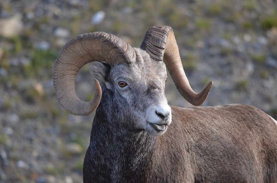 This young Stone ram, standing calmly on a hillside looking out over the Alaska Highway in northern British Columbia, presents the kind of picture rarely seen when hunting: A trophy animal standing broadside, motionless.