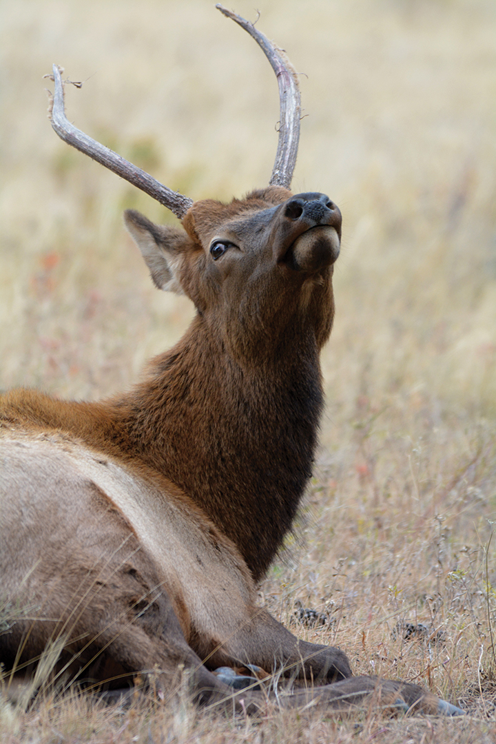 Spike bulls are among the most curious elk.