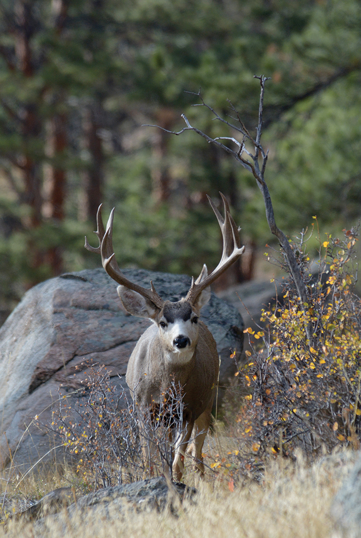 Non-typical points add extra appeal to this fine mule deer. When caused by genetics, such antler features may not develop until a buck achieves significant age.