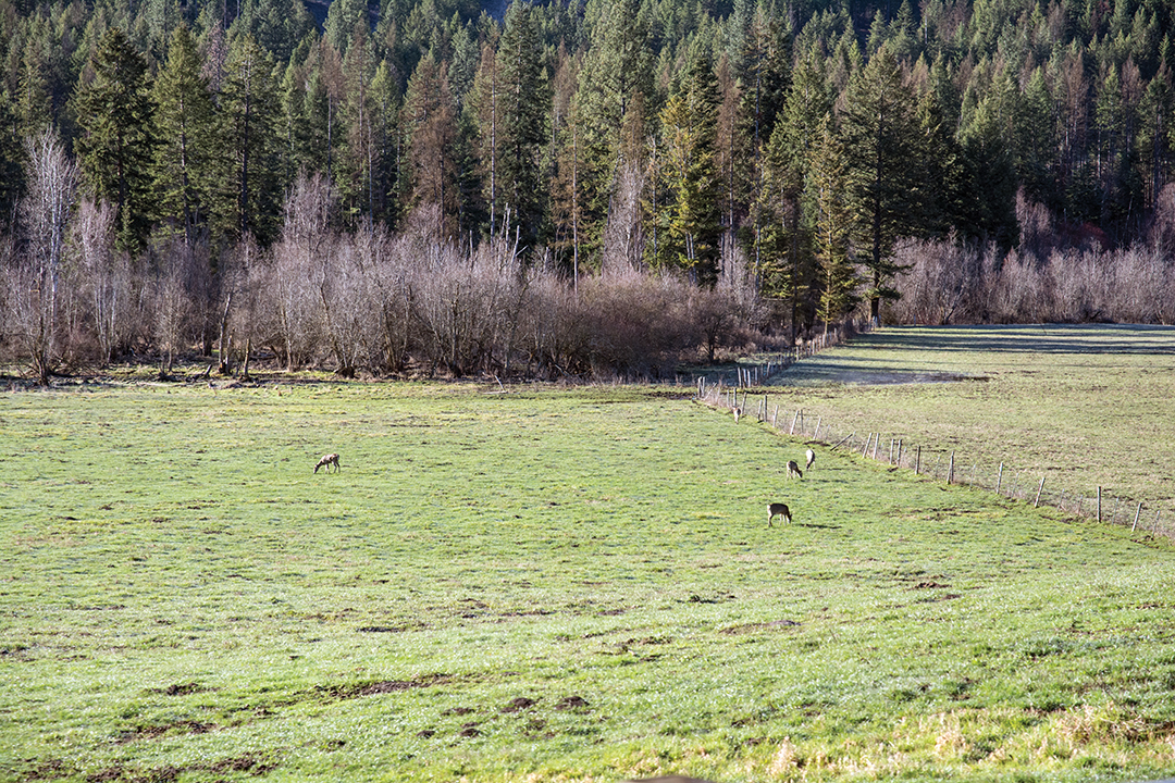 Farmlands and pastures offer refuge for whitetails from the newly established wolf packs in the region.