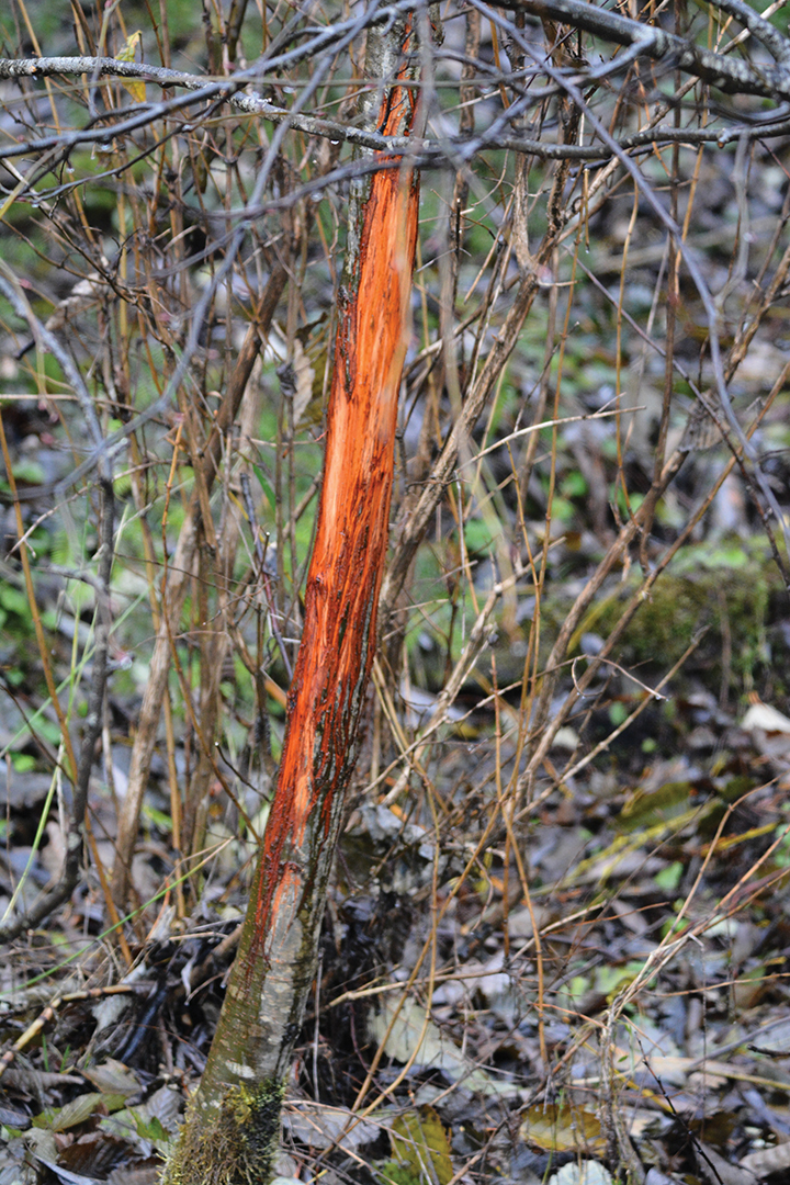 Fresh rubs on alder trees reveal the presence of a buck – likely a mature buck in this case.