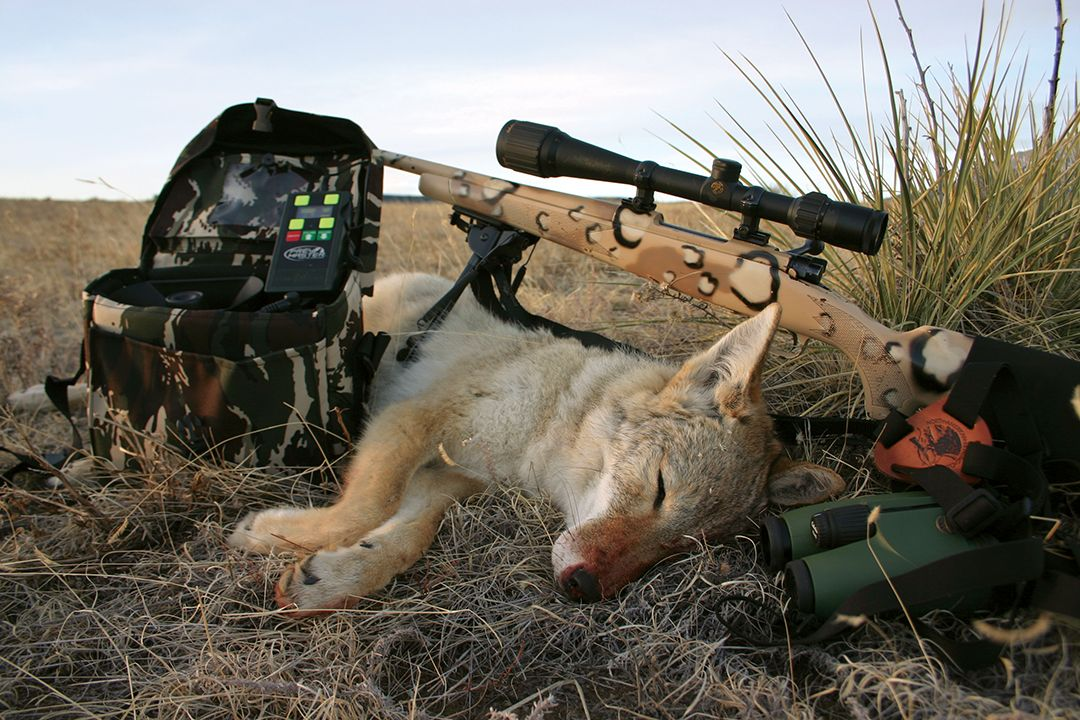 To be consistently successful, a coyote hunter should learn to manage most, if not all, shooting situations.