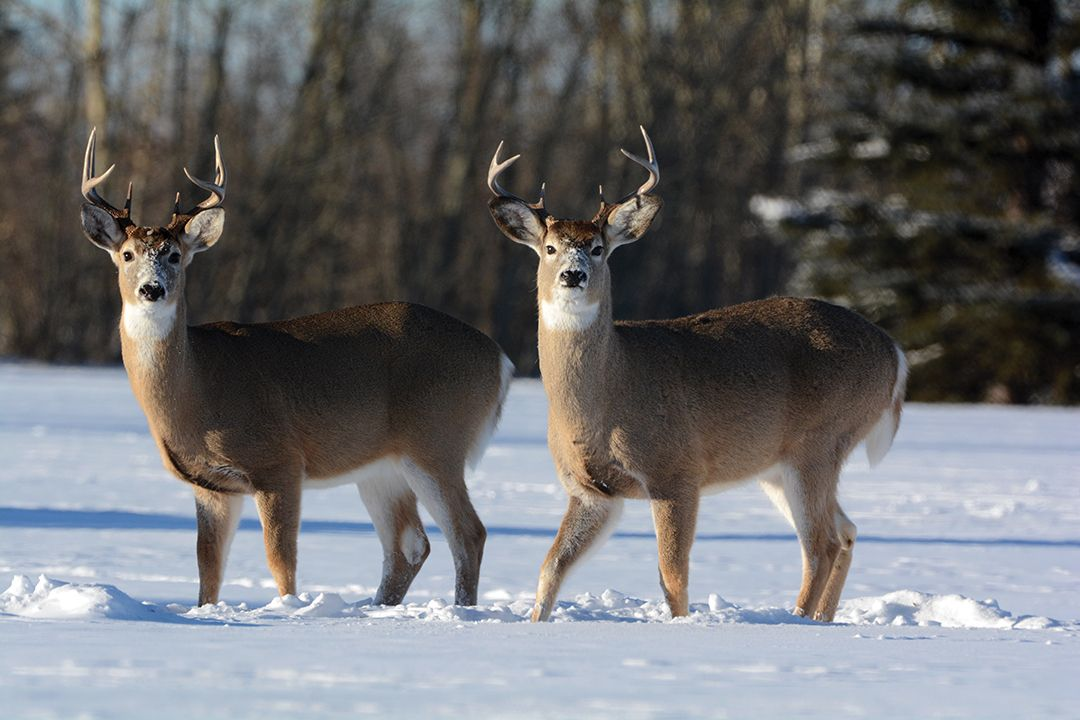 "A whitetail buck can be substituted for a muley as part of a triple, or added to the mix to create a ""grand slam."""