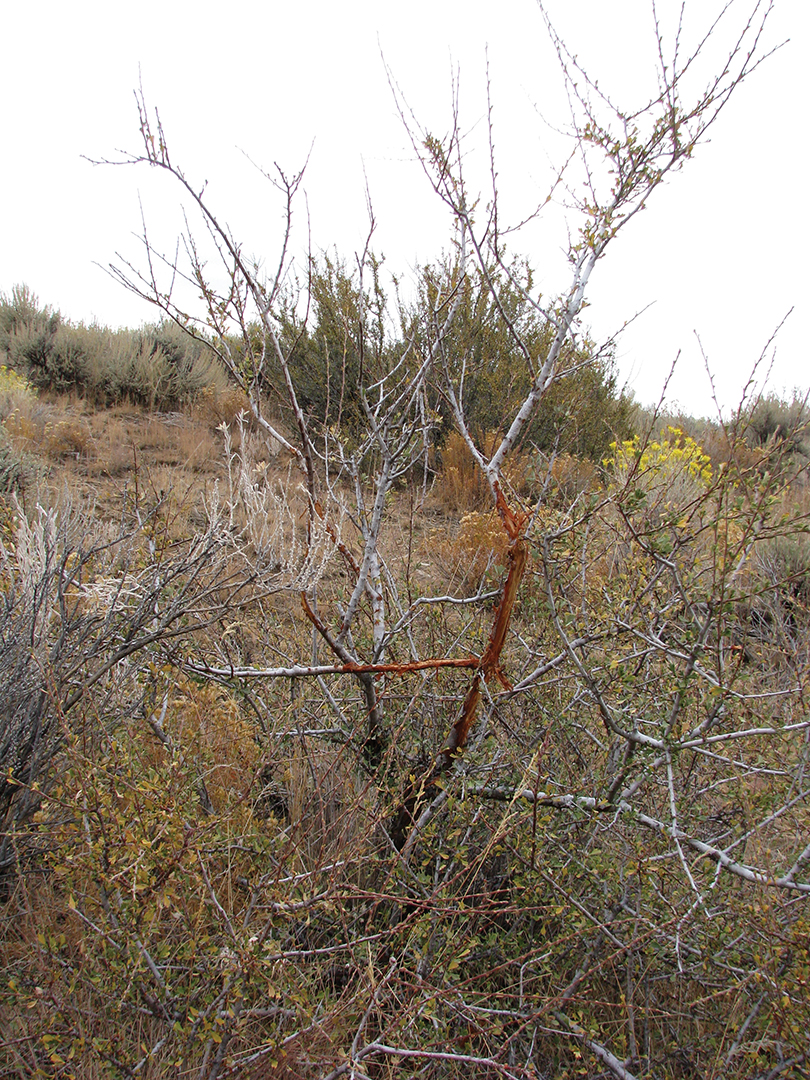 Even a big buck will rub out on spindly brush when there are few trees in its core area.