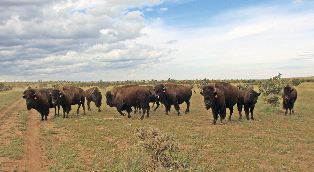 The ranch where the hunt took place was also home to a number of bison.
