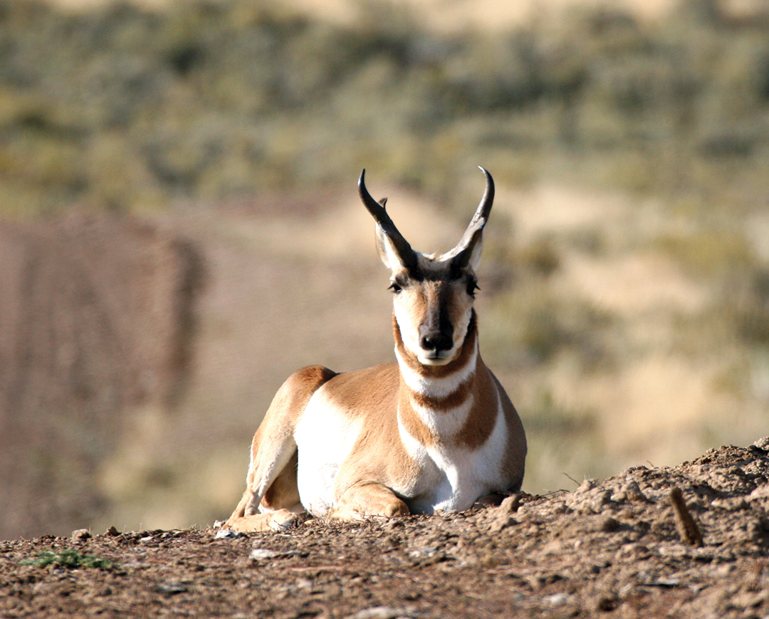 Young pronghorn bucks often get in the way while a hunter stalks a mature buck.